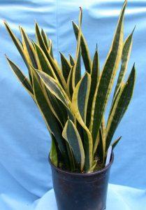 snake-plant-3